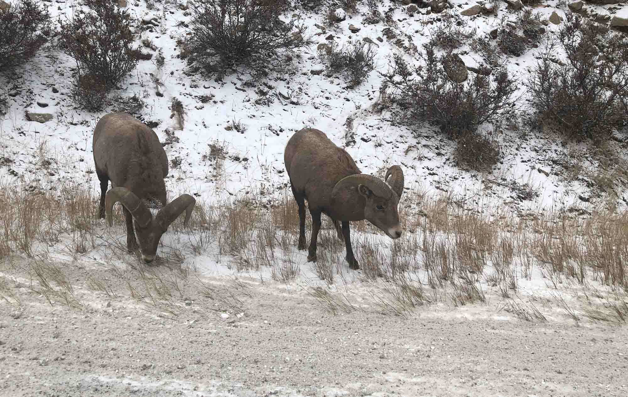 Bighorn Sheep Festival in Idaho Springs, Colorado