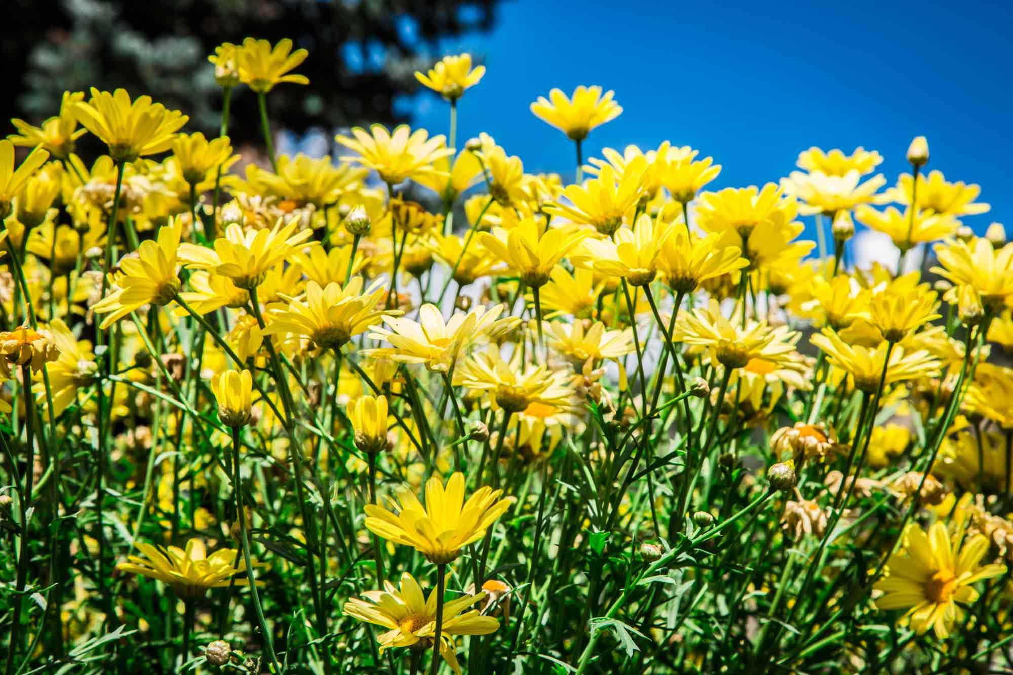 blues & bbq festival Idaho Springs, CO - sunflowers