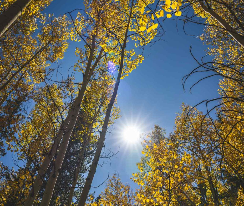 Golden leaves on aspen trees along the oh my god road in Idaho Springs, Co